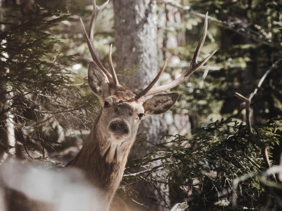 rådyr i skoven